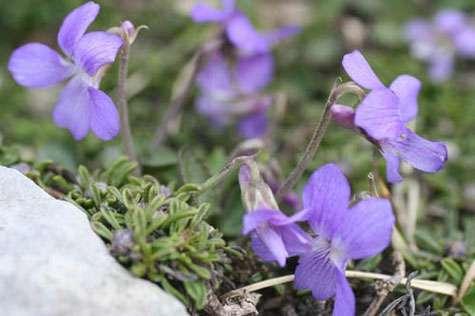 Viola pyrenaica, une espèce autochtone. © H Brisse, GNU FDL 1.2