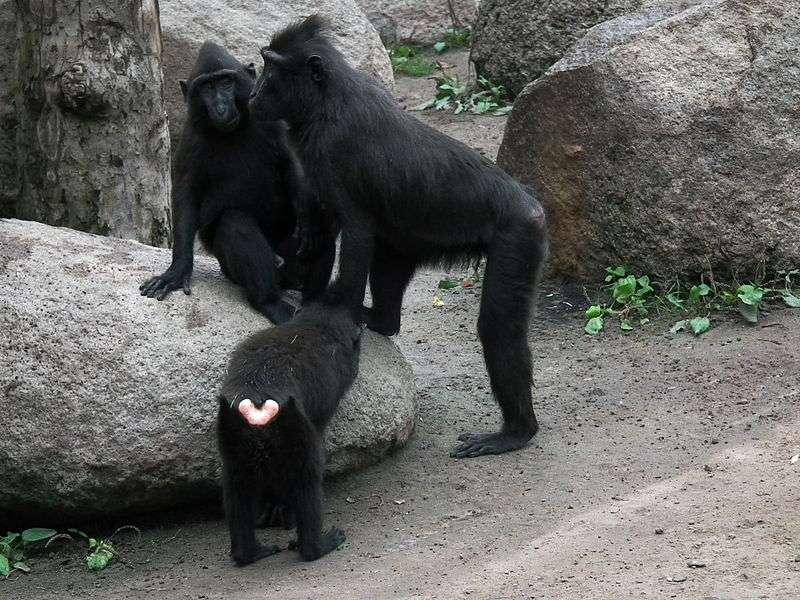 Groupe de macaques à crête. © 4028mdk09, CC by-SA 3.0