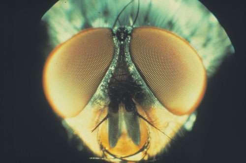Complètement panoramiques, les yeux à facettes de la mouche permettent à l'insecte de voir en avant, en arrière, en haut et en bas, et de voler ainsi à une vitesse de plusieurs mètres par seconde sans se crasher. © N. Franceschini/CNRS Photothèque