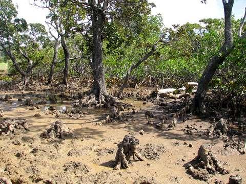 Pneumatophores genouillés de palétuviers du genre Bruguiera dans la baie de Prony (Nouvelle-Calédonie). © Jean-Michel Lebigre - Tous droits de reproduction interdit