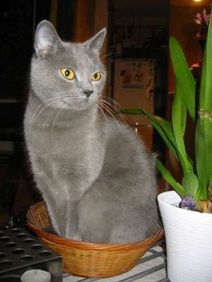 Le Chartreux, un superbe chat gris-bleu. © Delphine LAURU, Licence GFDL/fr