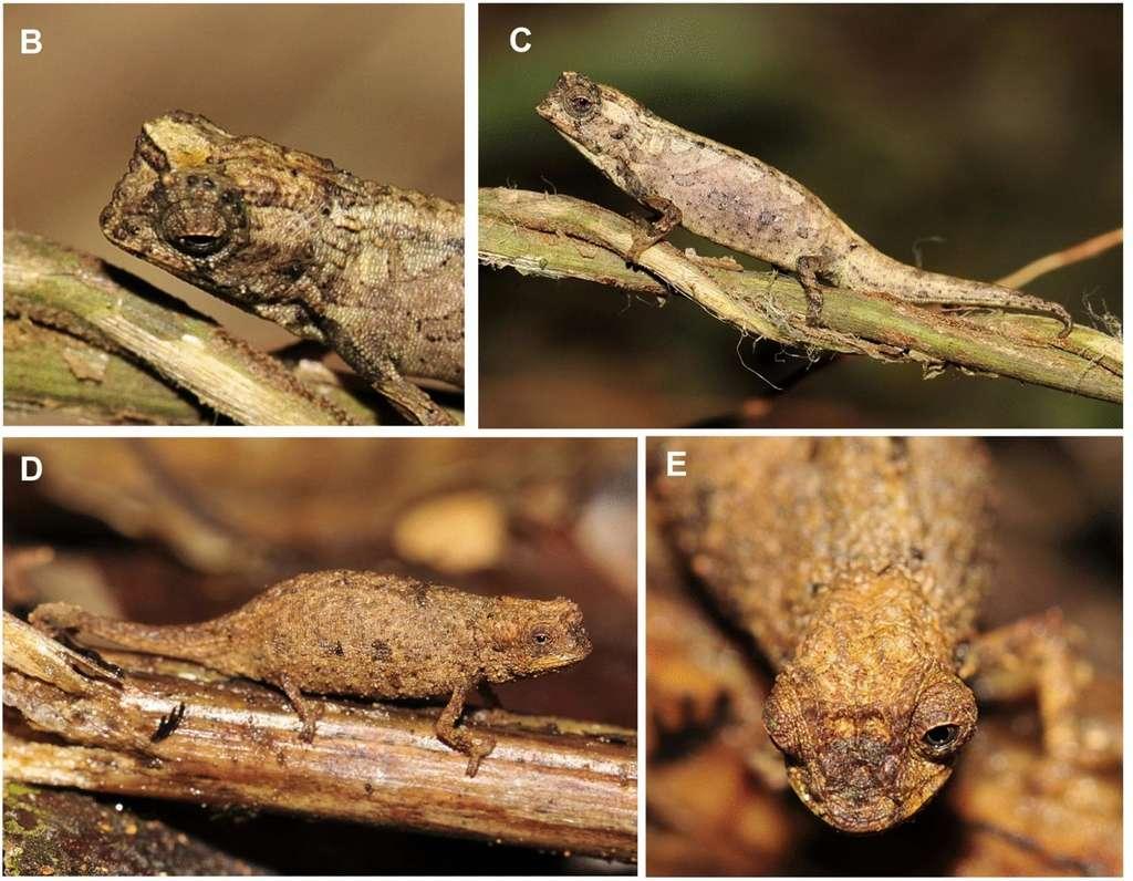 B et C, un individu mâle. D et E, un individu femelle. © Frank Glaw et al. Scientific Reports