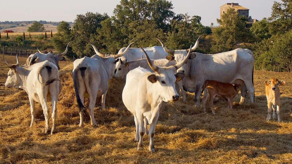 La maremmana, une vache d'origine italienne