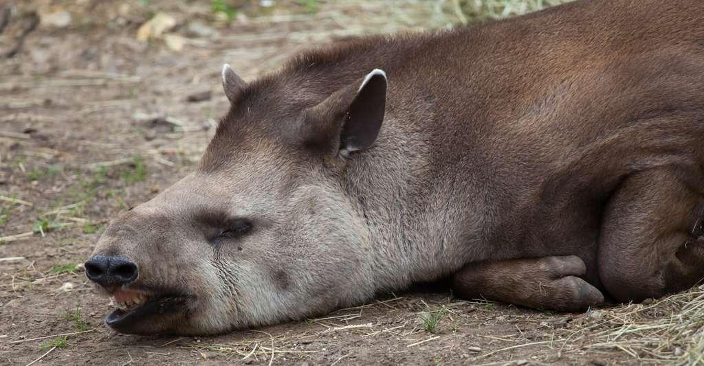 La zone Caraïbe/Amérique du Sud affiche un bilan « effrayant » et le tapir des Andes en est un symbole : le nombre de vertébrés sauvages s'est effondré de - 89 % en 44 ans. Amérique du Nord et Groenland s'en sortent un peu mieux, avec une faune à - 23 %. La vaste zone Europe, Afrique du Nord et Moyen-Orient est à - 31 %. © Vladimir Wrangel, Fotolia