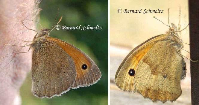 À gauche : Myrtil mâle s'abreuvant de sueur (sur la main du photographe). À droite : Myrtil femelle. © Bernard Schmeltz