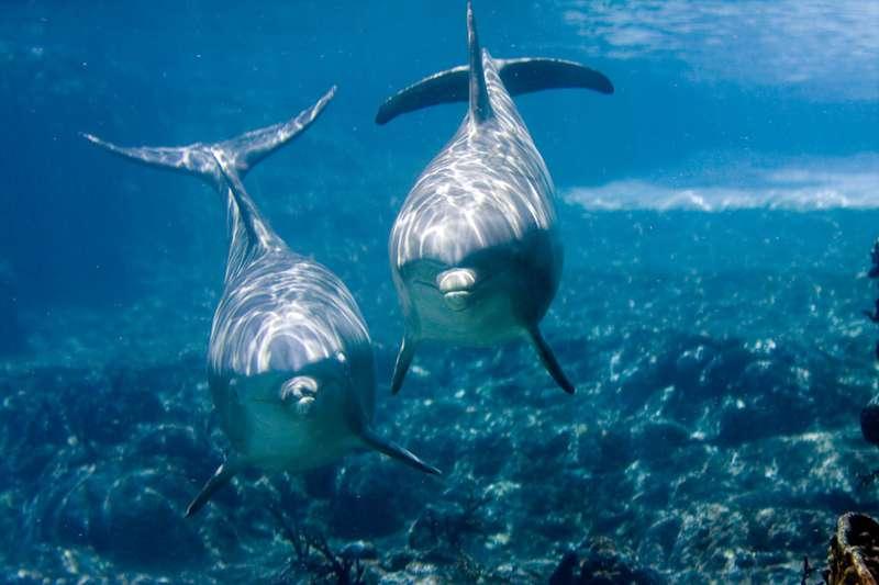 Le grand dauphin Tursiops truncatus est présent dans toutes les mers du globe, hormis dans les zones arctiques et antarctiques. Il n'y a que dans la baie Shark qu'il a été observé en train de se protéger le rostre avec une éponge. © jeffk42, Flickr, CC by-nc 2.0