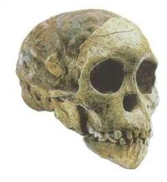 L'enfant de Taung, dont on découvre le crâne ci-dessus, a-t-il été la proie d'un rapace préhistorique ? Selon Scott McGraw, Tout semble l'indiquer... (Crédits : University of Minnesota Duluth)