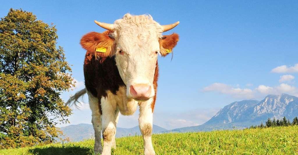 La maladie de la vache folle a provoqué la maladie de Creutzfeldt-Jakob. © Pexels, CCO