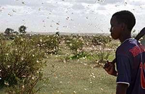 © FAO/AFP,Paris: Après le passage des criquets, les récoltes sont dévastées.