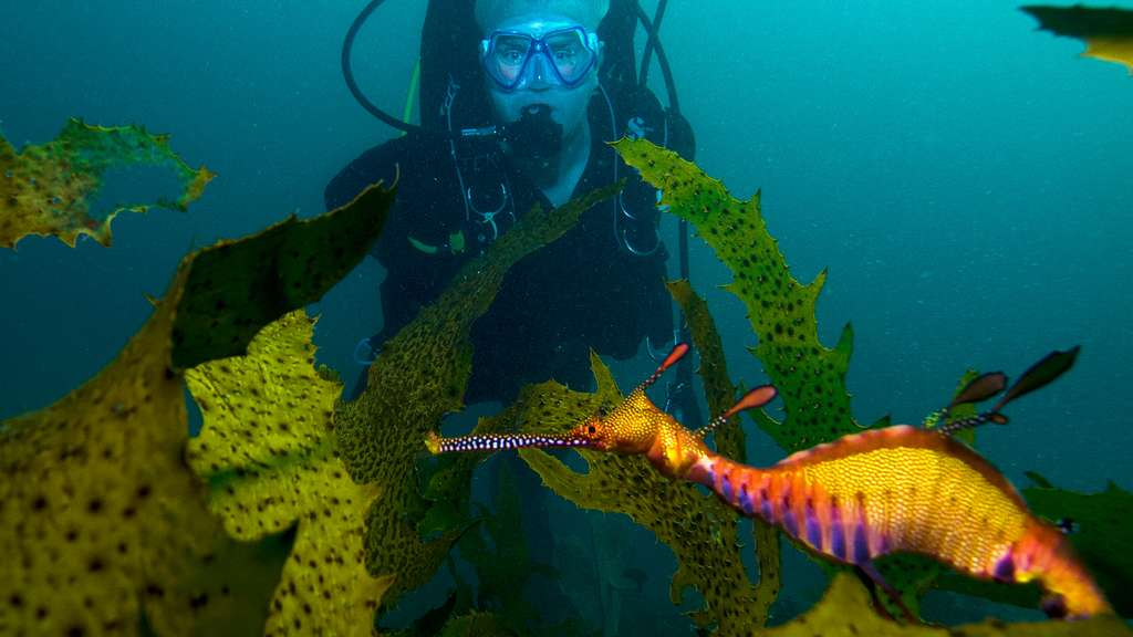 Le dragon de mer, proche de l'hippocampe