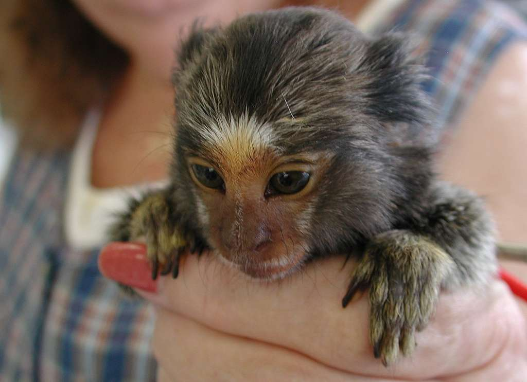 Le ouistiti pygmée, un singe miniature