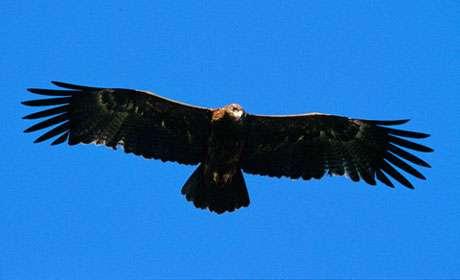Aigle ravisseur en vol plané. © Reproduction et utilisation interdites
