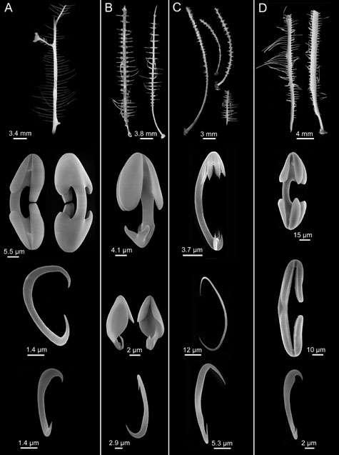 Selon les critères actuels de classification, ces éponges carnivores de même morphologie devraient être classées dans des familles différentes. © Selon Vacelet, 2007 - Tous droits réservés