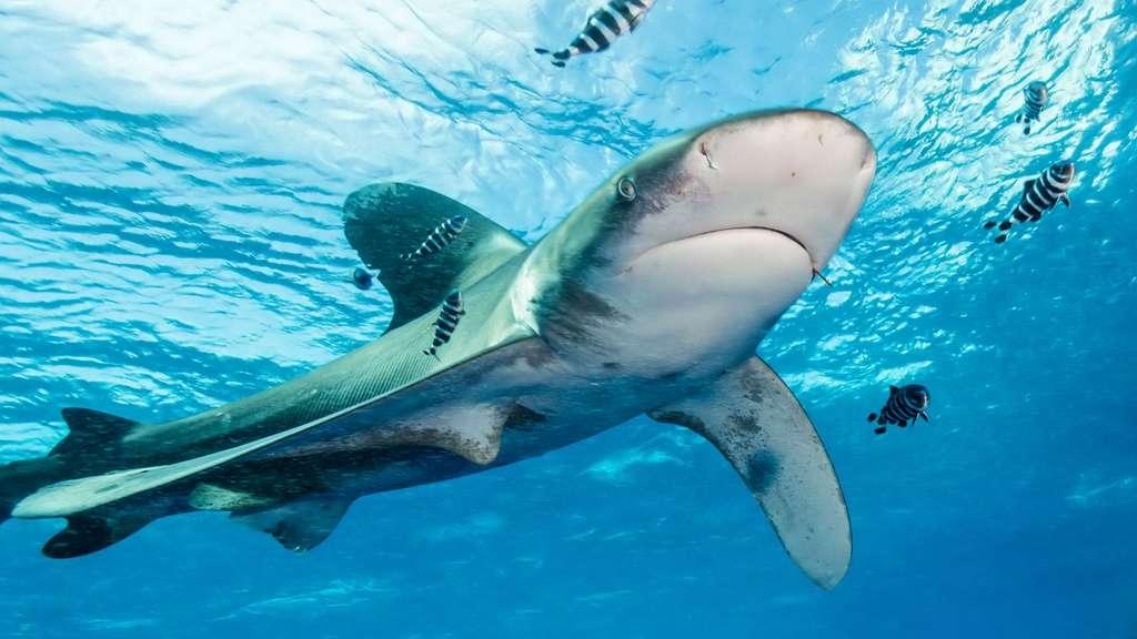 Le requin longimane : un requin aux grandes ailes