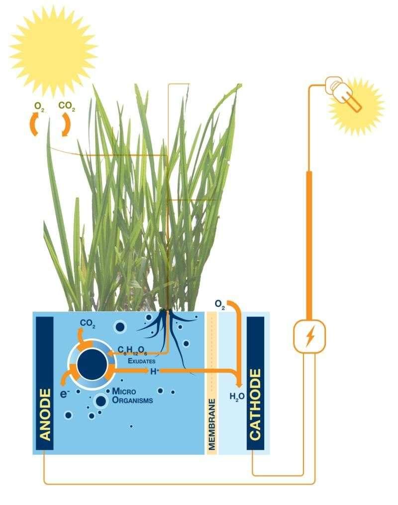Le système de Plant-e fonctionne de la manière suivante : les sucres (C6H12O6) produits par la photosynthèse sont dégradés par les micro-organismes présents dans le milieu (Micro-Organisms). Ils produisent en retour du CO2, des protons (H+) et des électrons (e-) captés par l'anode, ce qui génère un courant électrique. Au niveau de la cathode, les protons qui ont migré à travers une membrane réagissent avec les électrons et le dioxygène de l'air (O2) pour donner de l'eau (H2O). © Plant-e