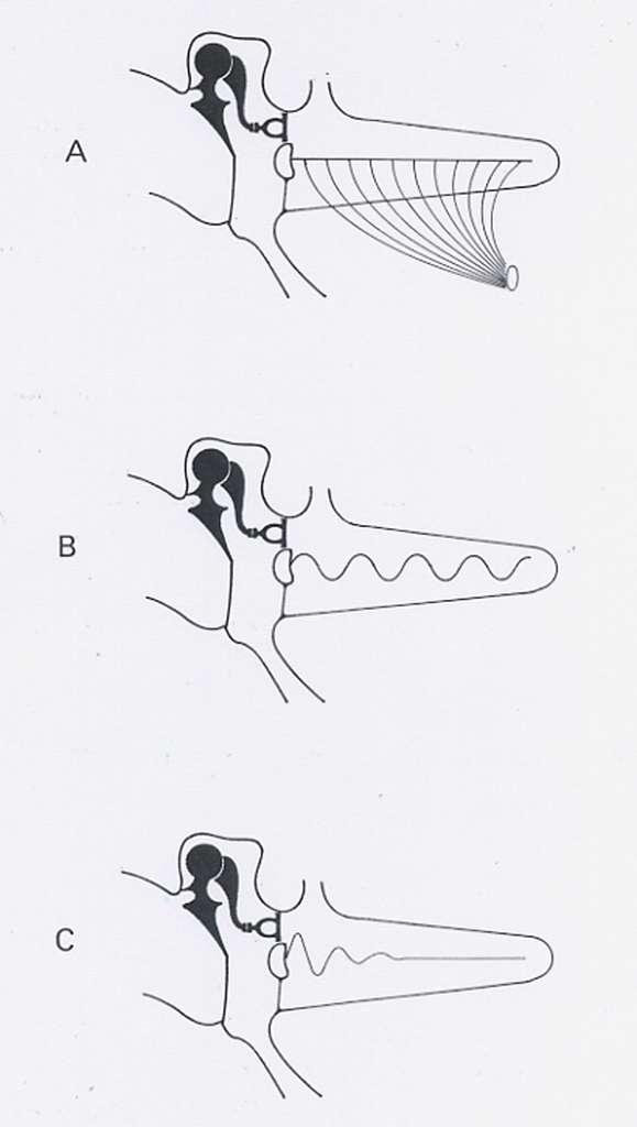 Schéma simplifié des états de la membrane basilaire : a, au repos ; b, soumise à un signal entretenu ; c, soumise à un signal transitoire. © DP