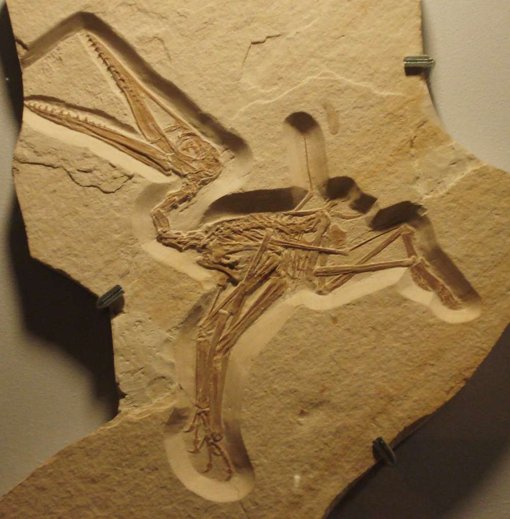 Selon les chercheurs de l'université de Leicester (Royaume-Uni), la capacité des ptérodactyles à voler dès leur sortie de l'œuf pourrait expliquer la grande taille de leurs ailes. © Ghedoghedo, Wikipedia, CC by-sa 3.0