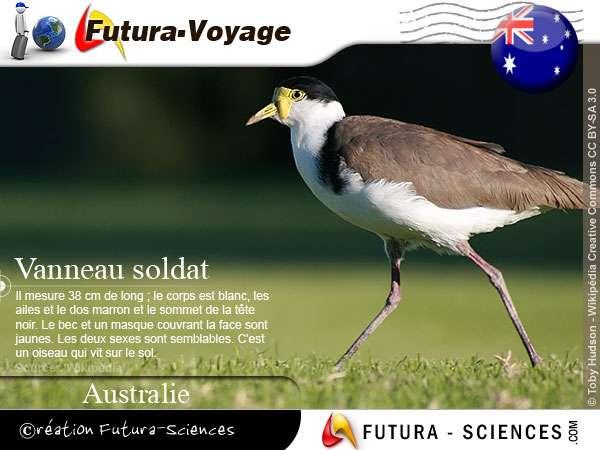 Vanneau soldat - Australie