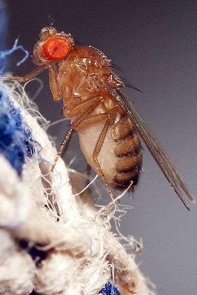 La mouche des fruits utilisée par les chercheurs a la taille d'une tête d'épingle. © Adam Chamness, Flickr, cc by sa 2.0