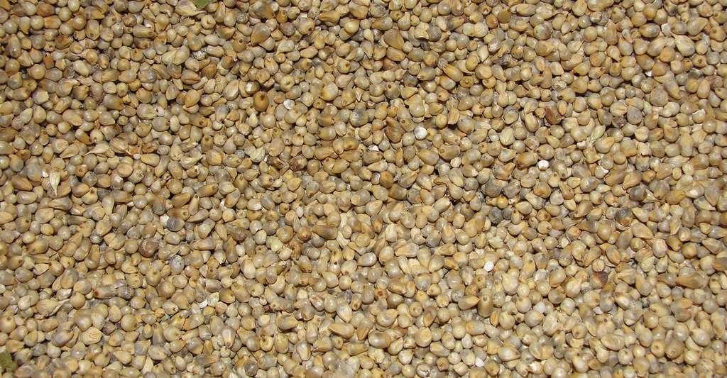 Grains de millet. © Thamizhpparithi Maari, Wikimedia commons, CC by-sa 3.0