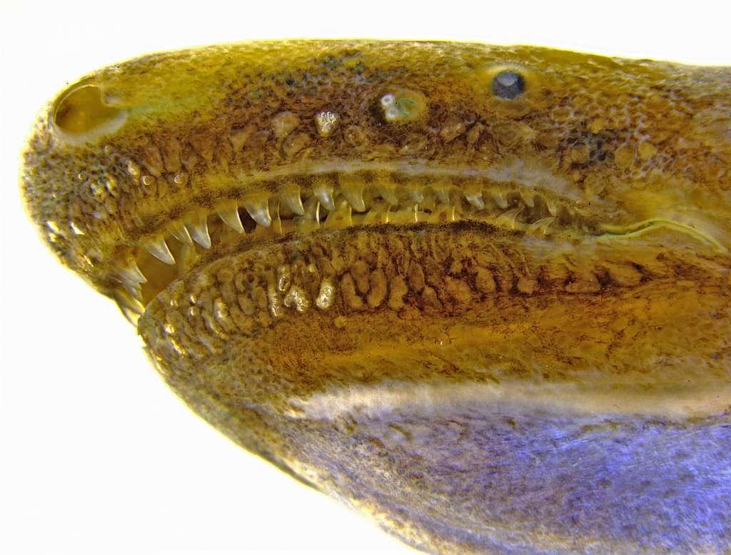 Sur cette image, se distinguent les glandes à venin situées autour des lèvres d'une cécilie. © Carlos Jared