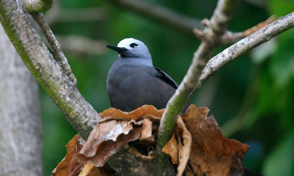 Un noddi sur une branche aux Seychelles