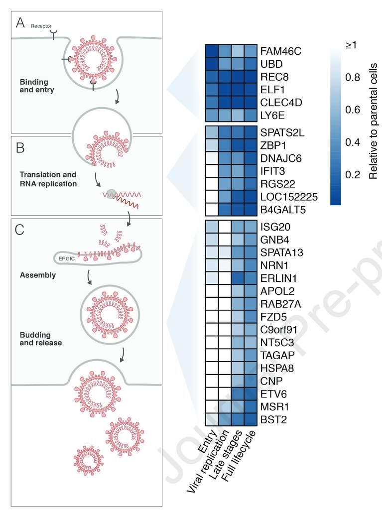 Certains ISG identifiés comme ayant un effet sur la réplication du coronavirus et le stade du cycle viral auquel ils agissent. © Laura Martin-Sancho et al., Molecular Cell