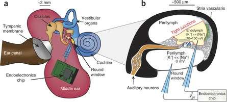 Dans la partie A, ce schéma de l'oreille interne permet d'identifier la cochlée (cochlea). La puce électronique (endoelectronics chip) est installée dans l'oreille moyenne (middle ear), là où se trouvent les osselets (ossicles). Les 2 électrodes viennent percer la fenêtre ronde (round window). Le volet B montre l'intérieur de la cochlée avec les deux canaux contenant la périlymphe et le canal cochléaire qui contient l'endolymphe. Les différences de concentrations en ions sodium (Na+) et potassium (K+) génèrent une tension électrique de 70 à 100 mV, recueillie par les électrodes. © Nature