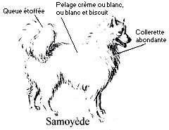 Comment reconnaître un samoyède - Copyright photo François Beiger (tous droits de reproduction interdit)