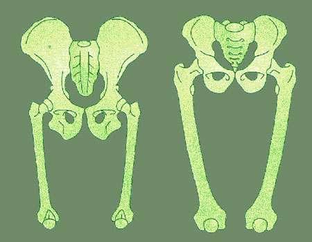 Bassin du singe, à gauche, et bassin de l'Homme, à droite. © DR