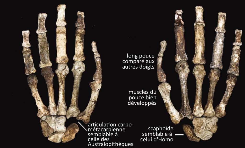 Les mains d'Australopithecus sediba, avec quelques-unes des caractéristiques phénotypiques, dont certaines sont semblables au genre Homo et d'autres aux Australopithèques. © Kivell et al. 2011 - Science - adaptation Futura-Sciences