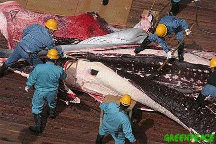 """Dépeçage d'un rorqual commun à bord du navire-usine """"Nisshin Maru"""". Crédit Greenpeace."""