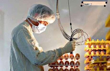 Culture des souches virales sur embryons de poulet. © 2005, The Sydney Morning Herald