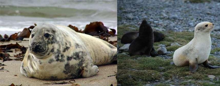 Un phoque gris (à gauche) et une otarie de Kerguelen blanche (à droite). © Andreas Trepte, Liam Quinn, Wikipédia, CC by-sa 2.5
