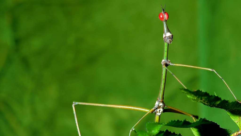 Le phasme bâton, un insecte étonnant