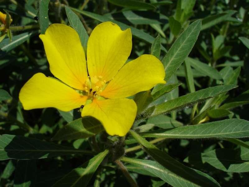 Le marais poitevin recèle des plantes à fleurs, ici Ludwigia grandiflora subsp. hexapetala. © Bouba, CC by-sa 3.0