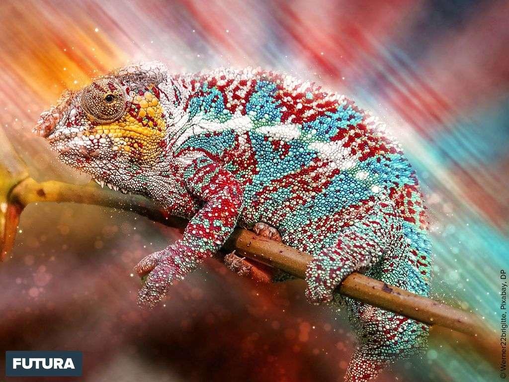 Les caméléons sont des reptiles ovipares, insectivores, plus des 131 espèces sont d'origine Malgache.
