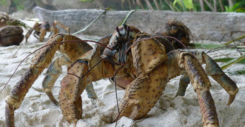 Crabe des cocotiers Birgus latro. © John Tann from Sydney, Australia, Wikimedia commons, CC by-sa 2.0