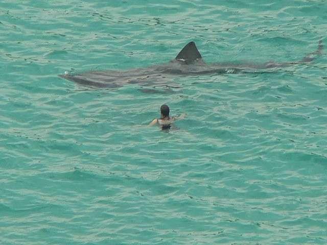 Chez les poissons cartilagineux (ou chondrichthyens), seuls les requins-baleines battent en taille les requins pèlerins, dont un individu est visible sur cette photographie. © Candiche, Flickr, cc by 2.0
