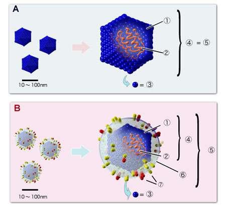 Structure de base d'un virus A. nonenveloped virus, B. enveloped virus.