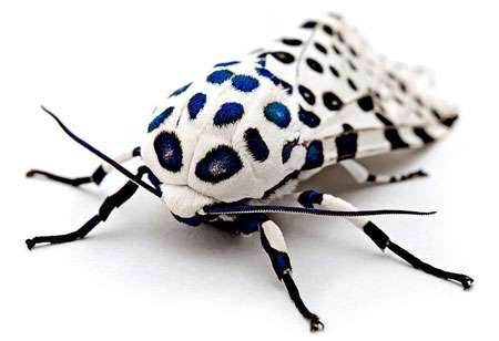 Kevincollins123 © Hypercompe scribonia, un papillon de nuit de l'est des États-Unis.