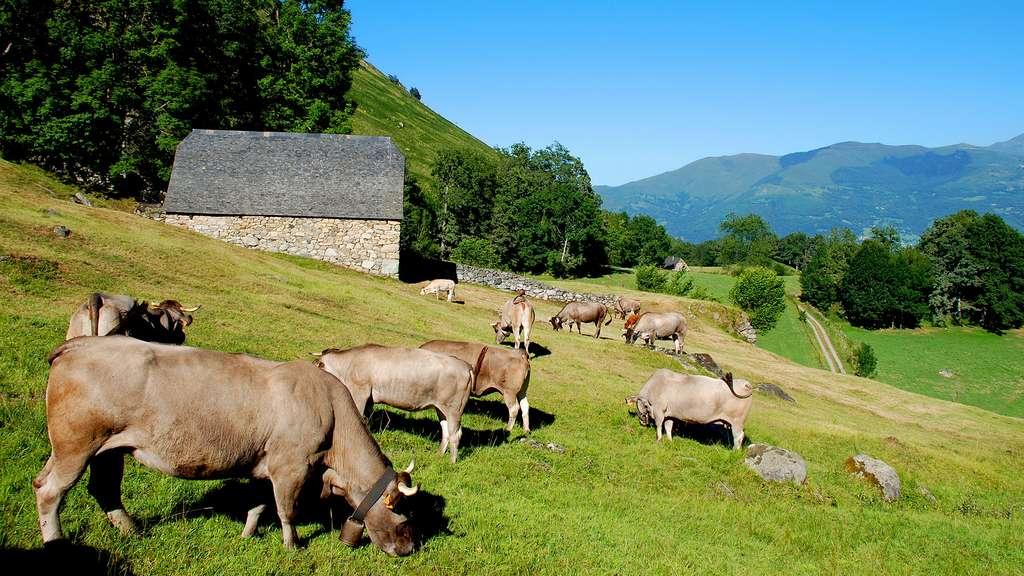 La vache bazadaise et sa belle robe grise