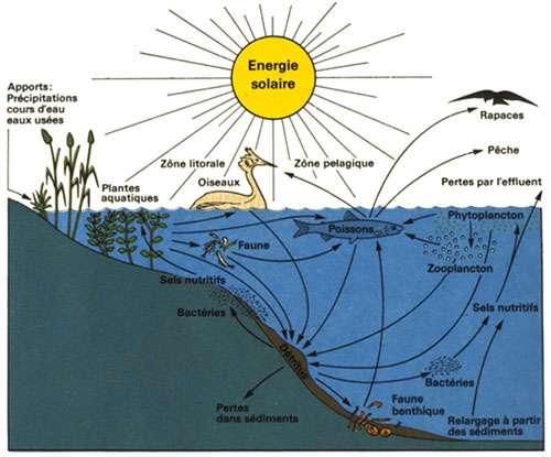 Écosystème d'un lac. Le poisson peut se nourrir de plancton, d'autres poissons, de plantes aquatiques… © Association pour la sauvegarde du Léman (ASL)