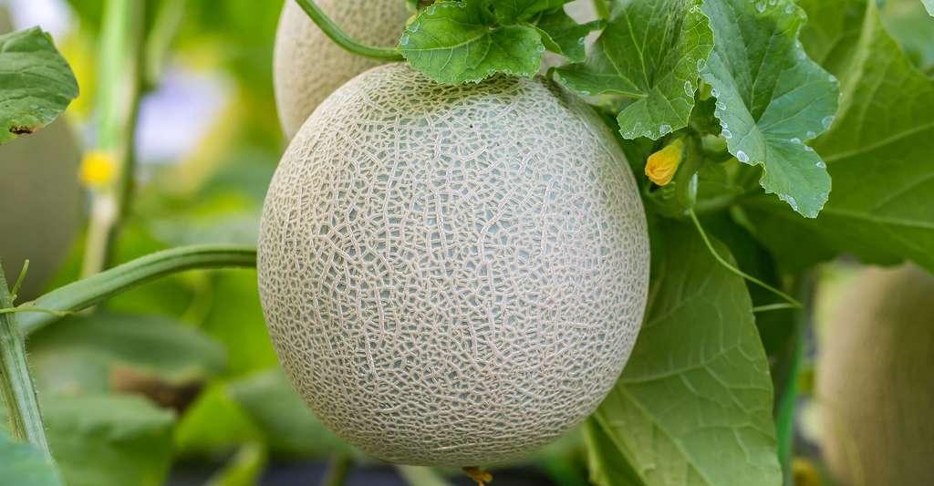 La production de melon est importante en France mais le pays a également recours à l'importation. Ici, un melon brodé. © Gorawut Thuanmuangn, Shutterstock