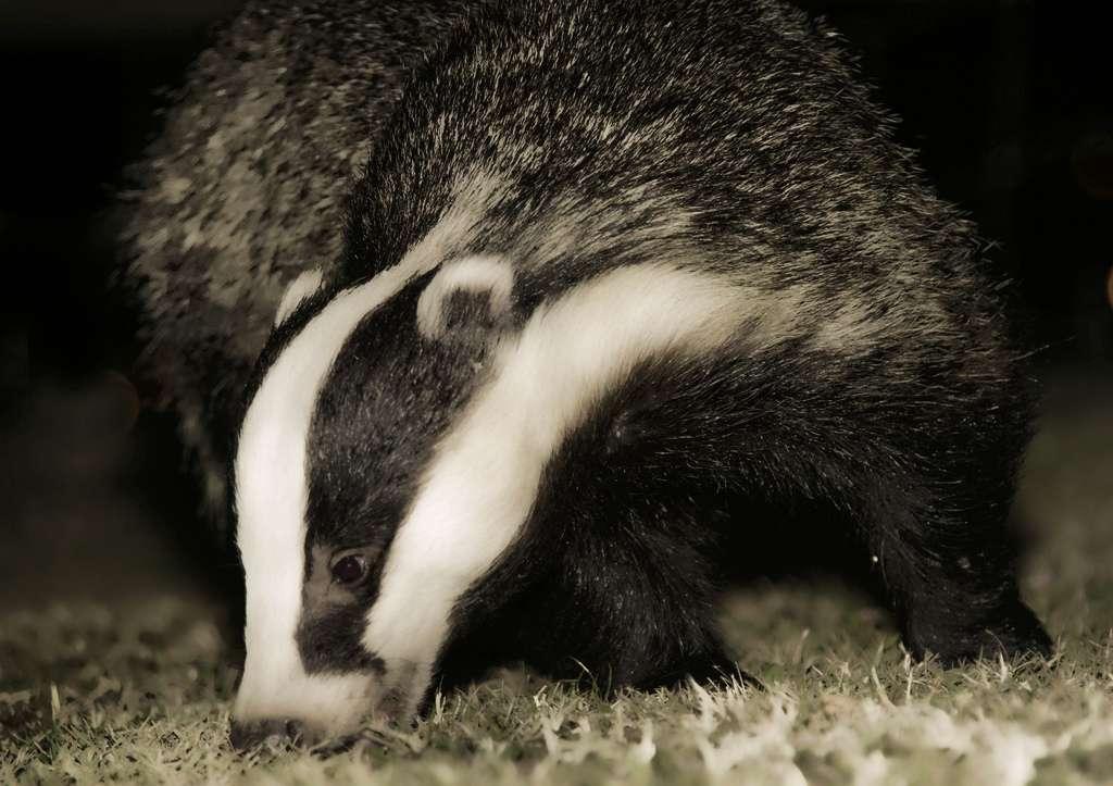 Le gouvernement britannique prévoit l'abattage de 5.000 blaireaux pour limiter la propagation de la tuberculose bovine. © Andrea, Flickr, cc by nc nd 2.0