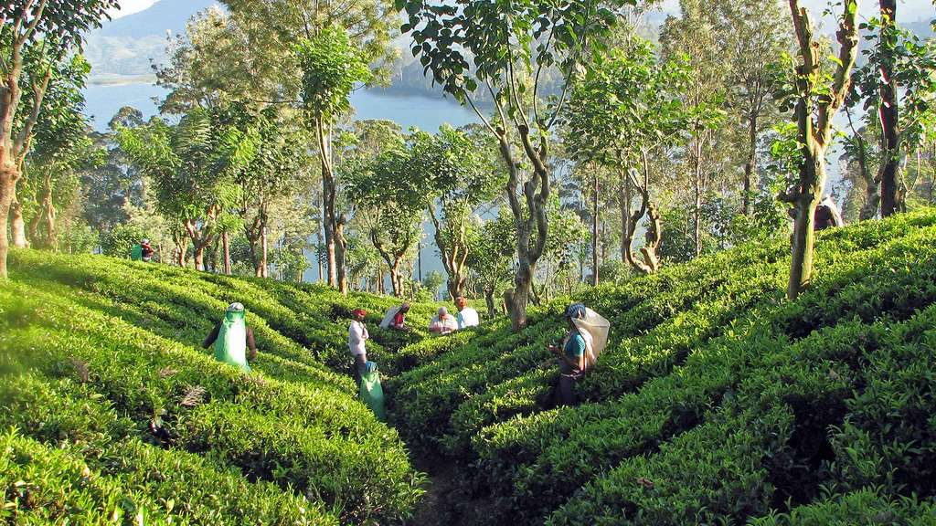 Le thé de Ceylan : thé de Kandy et thé d'altitude