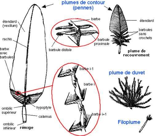 Structure et différentes plumes. © Reproduction et utilisation interdites