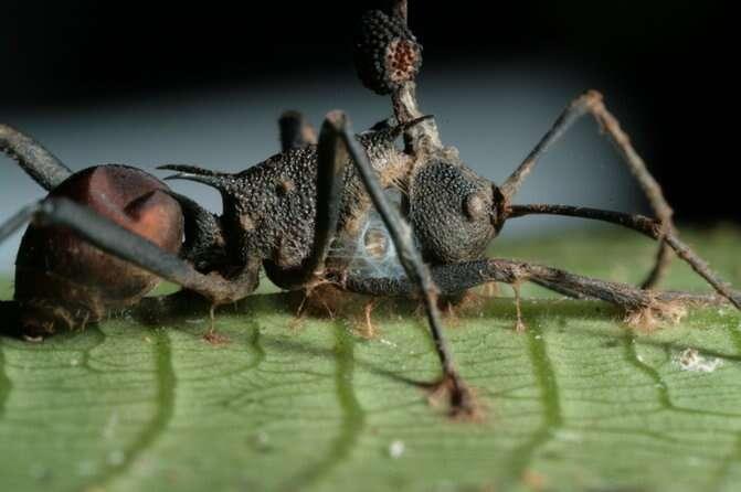 Le champignon qui infecte les fourmis charpentières du Brésil opère en prenant le contrôle des muscles de celles-ci. © David Hughes, Penn State University
