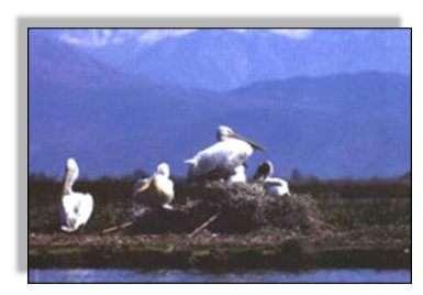 Les Pélicans frisés (Pelecanus crispus) étaient des hivernants réguliers dans les anciens marais de Mésopotamie. Source : UNEP