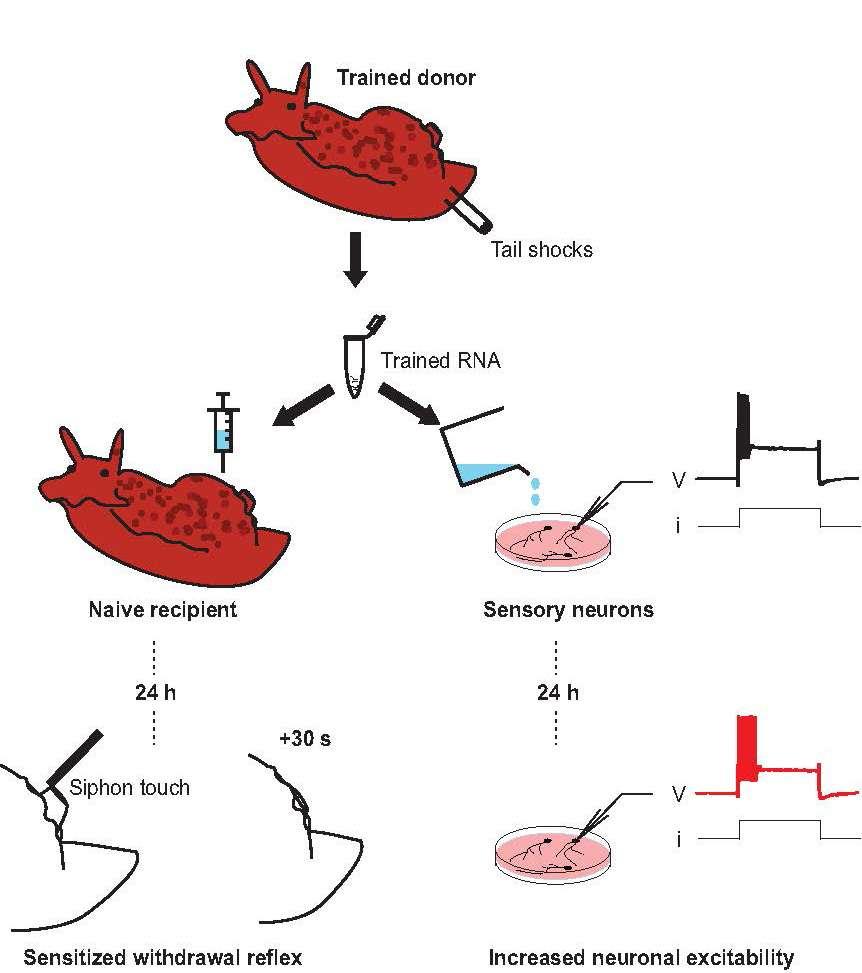 Pour transférer la mémoire d'un escargot de mer (trained donor) à un autre escargot de mer (naive recipient), des chercheurs ont extrait son ARN (trained ARN) puis l'ont injecté dans l'autre escargot. De même, ils ont mis cet ARN en présence de neurones sensoriels (sensory neurons). Au bout de 24 heures, les escargots présentaient un réflexe défensif accru (sensitized withdrawal reflex) à un stimulus tactile (siphon touch) et les neurones sensoriels étaient devenus particulièrement sensibles (increased neuronal excitability). © David Glanzman, Ucla